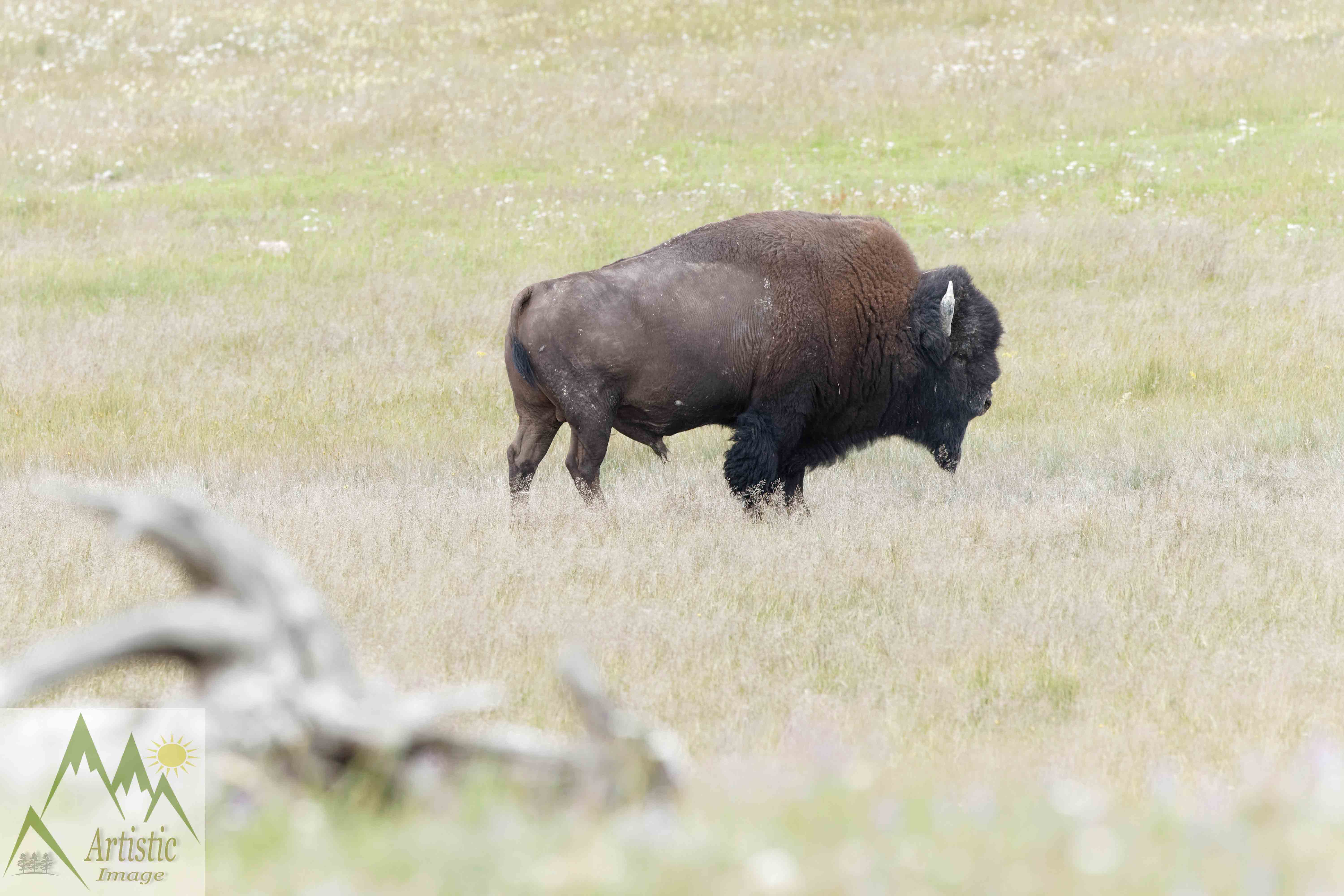 Buffalo on the Move